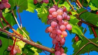 Гроздь винограда продали за $11 тысяч в Японии
