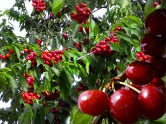 Moldova sporeşte exportul de cireşe