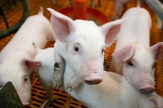 Un nou focat de pestă porcină într-o gospodărie din satul Mereni