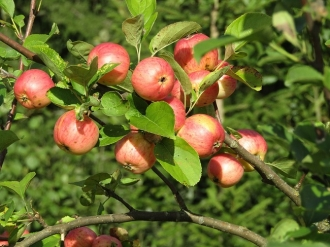 Mai puține mere pentru export