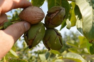 În acest an, este prognozată o recoltă bună de nuci