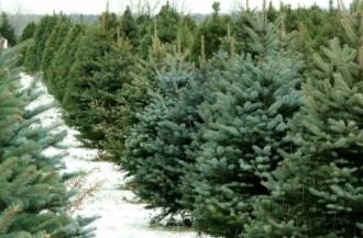 Peste 50 de mii de brazi se vor vinde cu prilejul sărbătorilor de iarnă