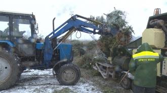 Îngrășăminte din pomi de Crăciun