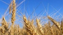 Recolta de grâu alimentar, mai mică decât anul trecut