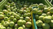 Export de mere în regim normal